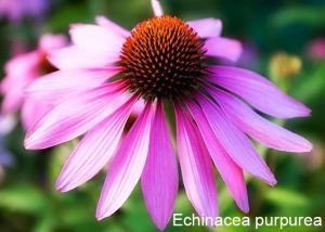 China Immunity enhancer Echinacea purpurea extract Cichoric acid 2% on sale