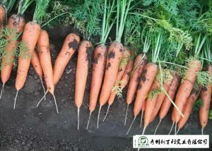 China Japan Standard Fresh Organic Carrots Own Plantation Supply To Supermarket on sale