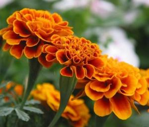 China Improve vision; natural pigment Lutein,Xanthophyll Marigold Extract 5% 10% HPLC on sale