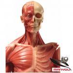modèle anatomique humain de 60cm, modèle éducatif, modèle médical, modèle d'art