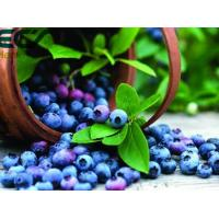 Blueberry powder; Oraganic Food Ingredients; Beauty effect, prevent cancer; antioxidant; Freeze- Dried; eyes care