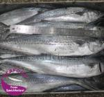 frozen spanish mackerel fish for sale BQF
