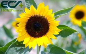 China Phosphatidylserine Sunflower Seed  Derived  Plant Extract Powder NMR Test Method on sale
