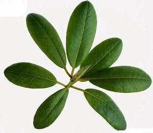 China Corosolic acid(Loquat Leaf Extract)30% Promote weight loss, Balances blood sugar on sale