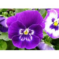 Natural Cosmetics raw material Pansy Extract, Viola tricolor extract 10:1,20:1TLC