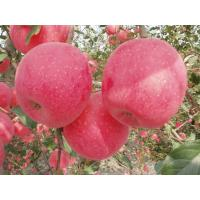 high quality rich in nutritious good for health fresh red fuji apple