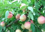 цены по прейскуранту завода-изготовителя оптовой продажи Китая порошка персика 100% вкус порошка персика чистой сладкой сочный