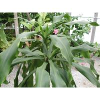 China Dracaena fragrans tree on sale