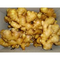 Ginger/ Fresh Ginger/ Air-Dried Ginger