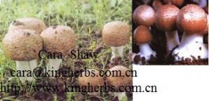 China Выдержка гриба Блазай Агарикус Китая для продажи on sale