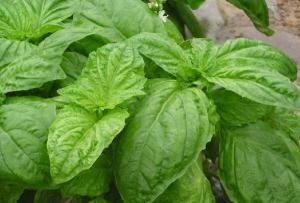 China Holy Basil Extract,Basil Herb Extract,Basil Leaf Extract,Basil powder 10:1 on sale