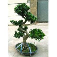 S-types Ficus