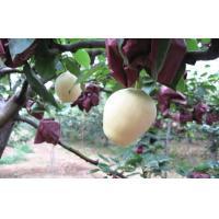Crisp Yellow Fresh Apple Pear Health Benifits For Supermarket