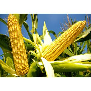 China Corn oil processing Line on sale