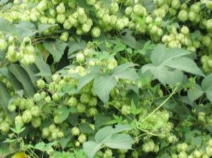 China Humulus lupulus European Hop Flower chinese patent medicine pi jiu hua on sale