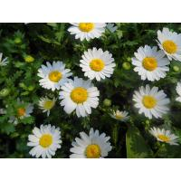 China 0.8%-1.2% Feverfew Extract parthenolide powder 13 years factory supply feverfew extract on sale