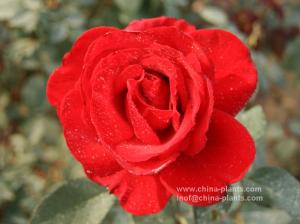 China hybrid tea / floribunda / climber rose supplier on sale