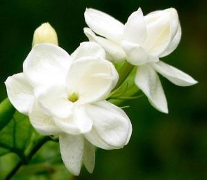 China Anti-oxidation 4:1,10:1 natural Jasmine Extract, Jasmine Flower Extract, Jasmine Tea Extract TLC on sale
