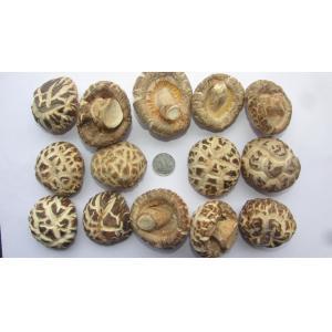 China Cogumelo de Shiitake de alta qualidade cultivado em explorações agrícolas naturais on sale