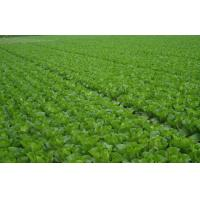 Fresh No Infect Chinese Napa Cabbage Contains Electrolytes And Minerals, Fleshy sweet, Crisp slippery little fiber