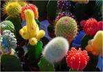 jardim de florescência interno do cacto (cacto amarelo)