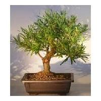China Landscaping--Podocarpus Bonsai Tree on sale