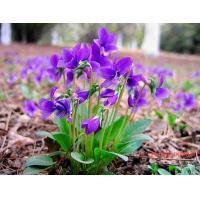 Viola philippica Cav tokyo violet herb violae whole plants organic Chinese herb Zi hua di ding