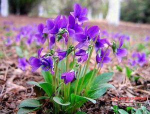 China Viola philippica Cav tokyo violet herb violae whole plants organic Chinese herb Zi hua di ding on sale