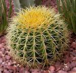 Plantas de florescência do cacto de tambor dourado (plantas tropicais)