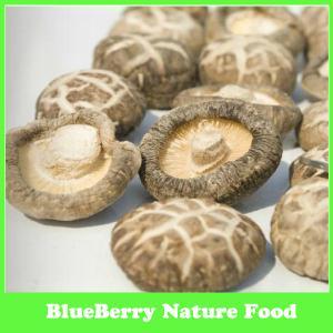 China Fontes do cogumelo secado, cogumelo de Shiitake cultivado on sale