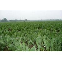 Chinese manufacturer SUPPLY Isatis Root Extract, Radix isatidis P.E., 10:1 TLC, TCM Extract, Shaanxi Yongyuan Bio