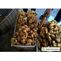 Mature Organic Fresh Ginger , Wholesale Premium Grade Air Dried Ginger