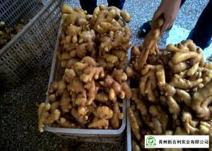 China Mature Organic Fresh Ginger , Wholesale Premium Grade Air Dried Ginger on sale