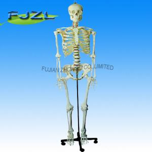 China life-size skeleton 170cm tall(skeleton model deluxe on roller stand) on sale