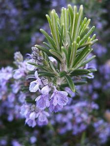 China Rosemary Herb Extract 5%~98% Carnosic Acid Rosmarinic acid on sale