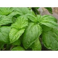 China Buchu Leaf Extract on sale