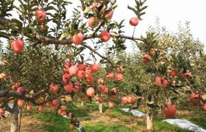 China Grade A , B Red Fresh Fuji Apple Sweet Tasty For Apple Crisp / Cake, Golden yellow fruit surface, glossy on sale