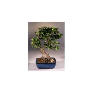 China S-shape Ficus Indoor Ornamental LIVE Plant on sale