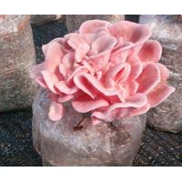 Factory Price Premium Oyster Mushroom Spawn Cultivated for Fresh Oyster Mushroom