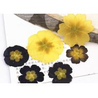 Primula Auricula Yellow / Black Real Pressed Flowers Resin Phone Case For Aroma Candle Decoration