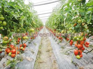 China Agriculture Greenhouse for tomato on sale