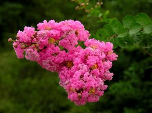 China Banaba Leaf Extract Corosolic Acid(daisy@nutra-max.com) on sale