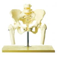 Pelvis with Lumbar Spine and Femoral head human skeleton model stander