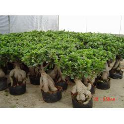 China Ginseng Ficus bonsai on sale