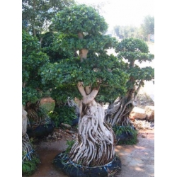 China Bonsai Grafted Root Ficus(001) on sale