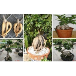 China Ficus (Gin Sen Bonsai) on sale