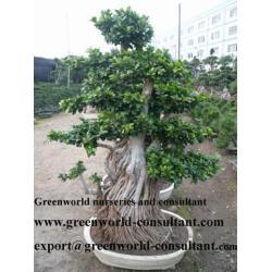 China ficus bonsai on sale