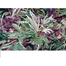China Acer Palmatum - Butterfly on sale