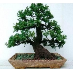 China BONSAI FAKE BONSAI FAKE 1 on sale