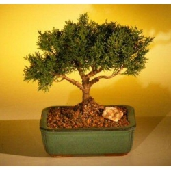 China FREE SHIPPING ON THIS TREEShimpaku Bonsai Tree Bonsai Tree - Large(shimpaku itoigawa) on sale
